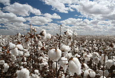 cotton-and-sky
